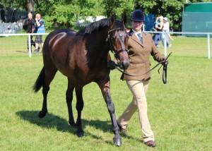 Hevans EV Catorrius (97% FPD 2-yr-old colt), Royal Windsor Horse Show 2014