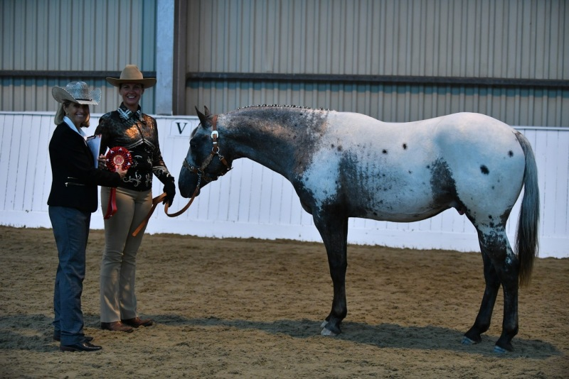 Appaloosa Horse Club UK National Breed Show 2017     - Red