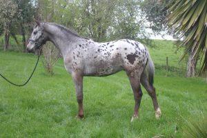Appaloosa Horse Club UK Archives - Red Heart Appaloosas